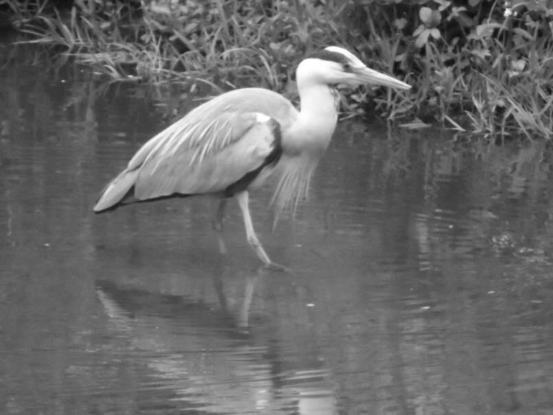 Castlemilk Park Pond Heron